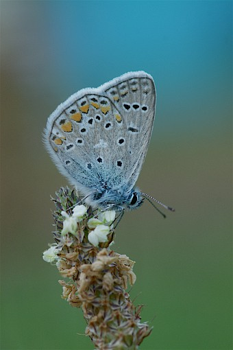 Common blue (polyommatus icarus) at DOTTIKON site